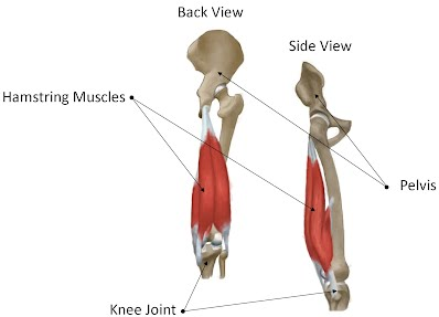 Hamstring anatomy diagram